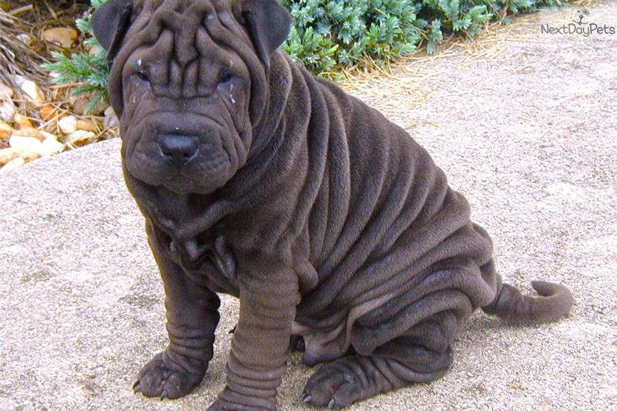 Chinese Shar Pei Dog Breed Standards