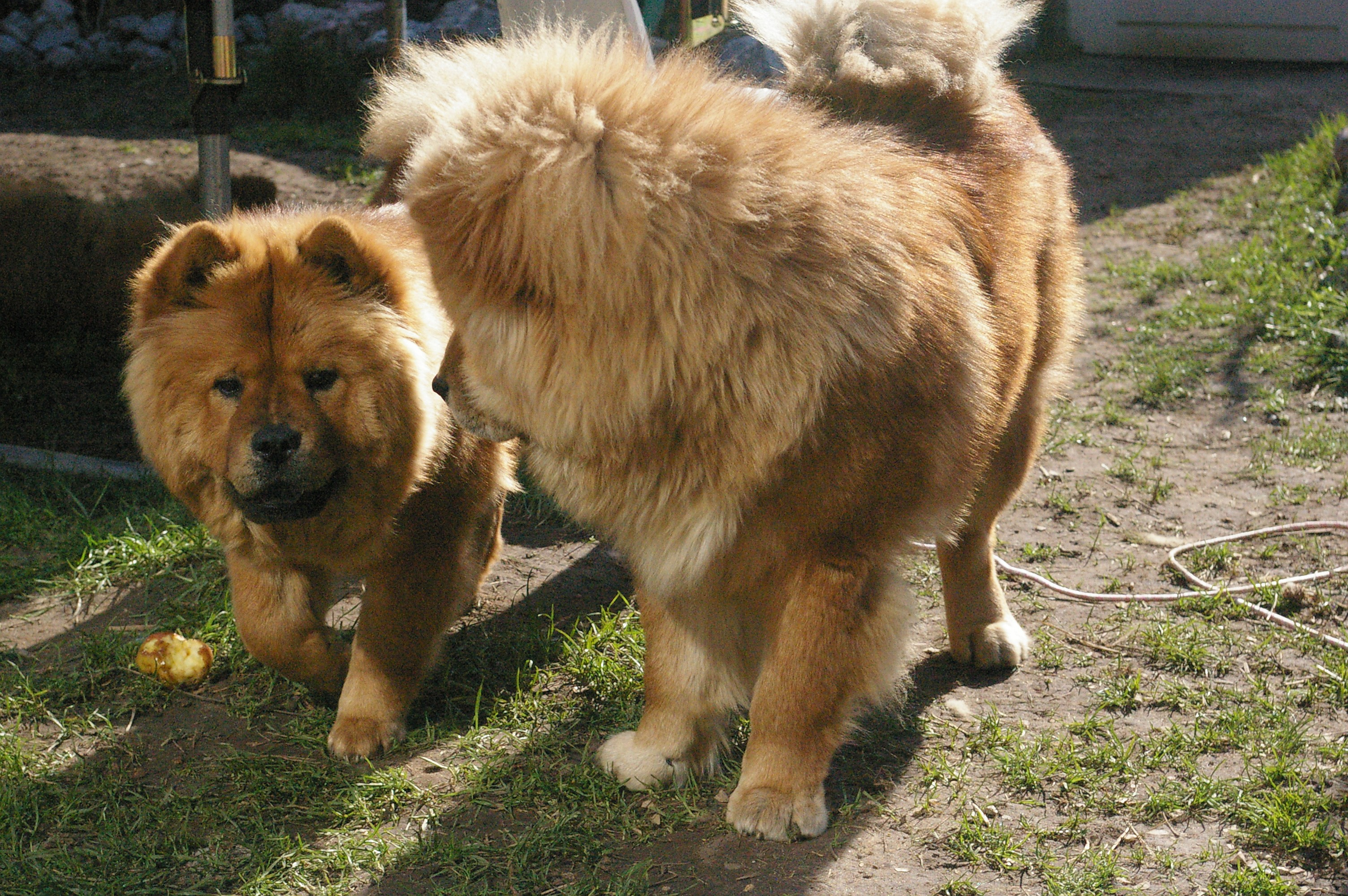 Dog Pictures Online Bangkaew Dog Breed Images Male