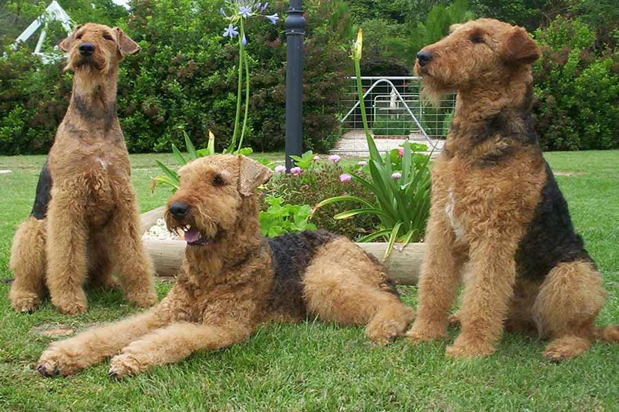 Airedale Terrier Dog Breed Standards