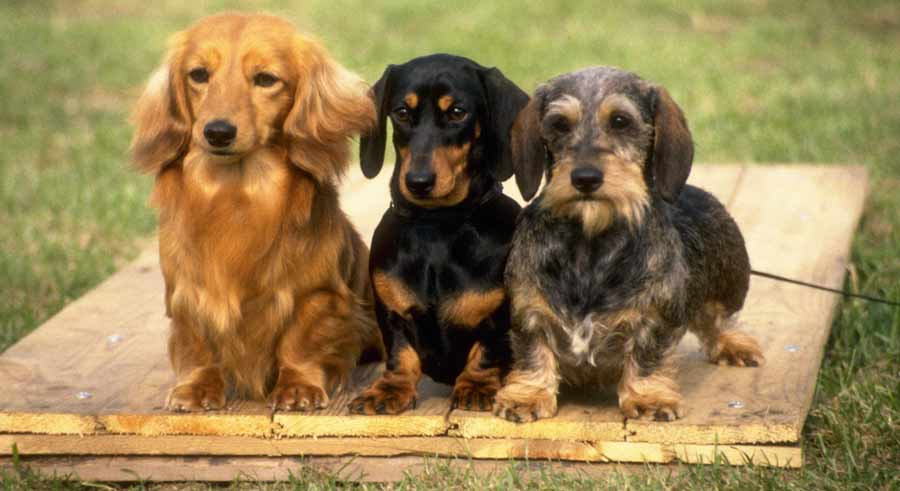 Dachshunds are very devoted to their families and quite wary of ... Ugliest Person In The World Guinness World Record