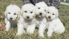 Komondor puppies