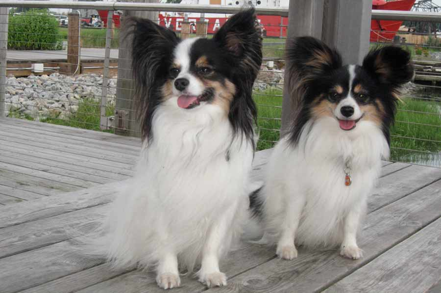 Papillon ( Continental Toy Spaniel )