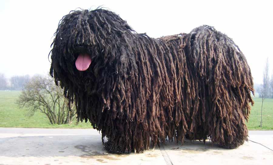 puli   dog breed standards