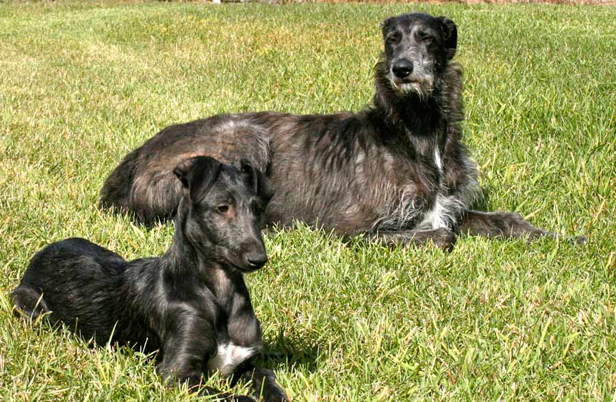 Scottish Deerhound - Dog Breed Standards