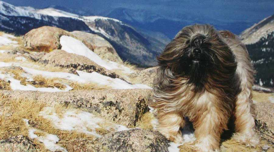 Tibetan Terrier Dog Breed Standards