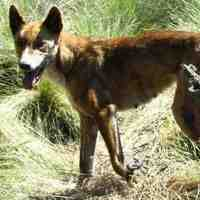 Dingo the Wild Dog from Australia