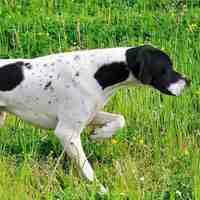 Pointer ( English Pointer )