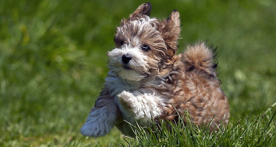 Smallest Toy Dog Breeds : Small dog breeds information and pictures of all dogs