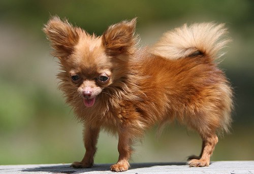 worlds-smallest-dog-breeds