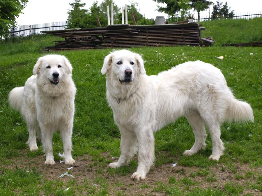 Slovensky Cuvac Dog