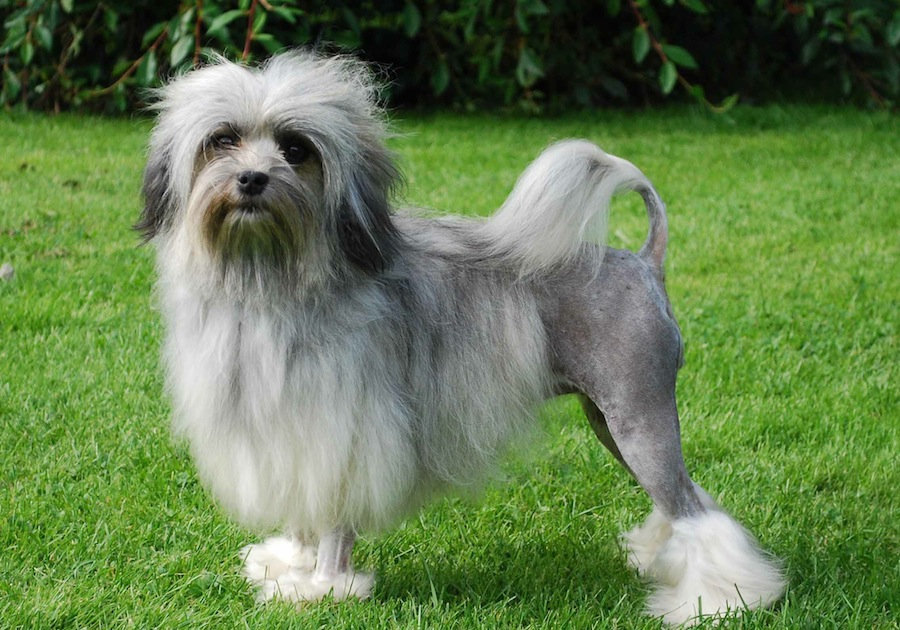Löwchen is a friendly, happy dog. Dogs of this breed are both active ...