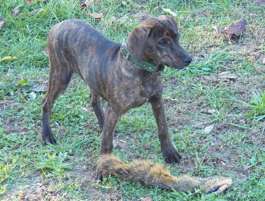 Treeing Tennessee Brindle - Dog Breed Standards