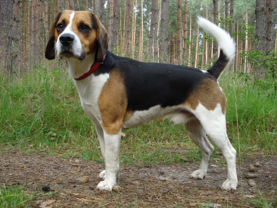 The Beagle Harrier is generally good with children and other pets.