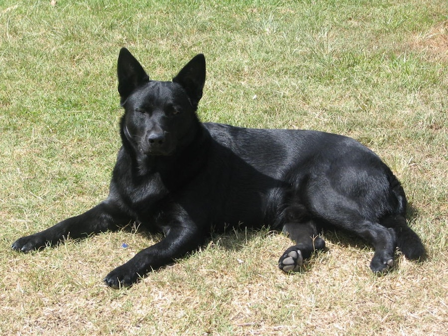 Black Norwegian Elkhound is a sturdy, medium-sized spitz-type dog ...