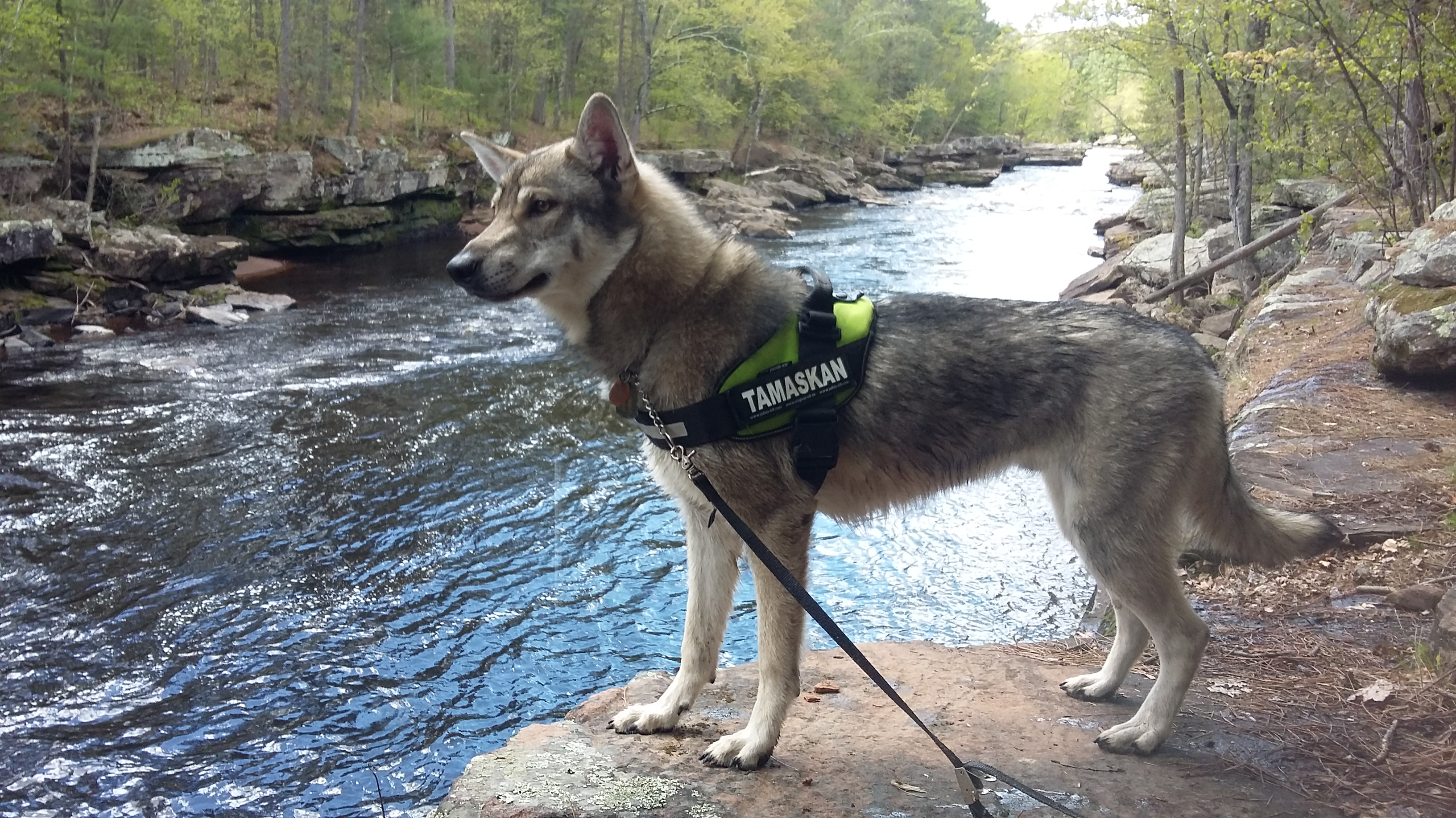 Tamaskan Dog Breed Standards