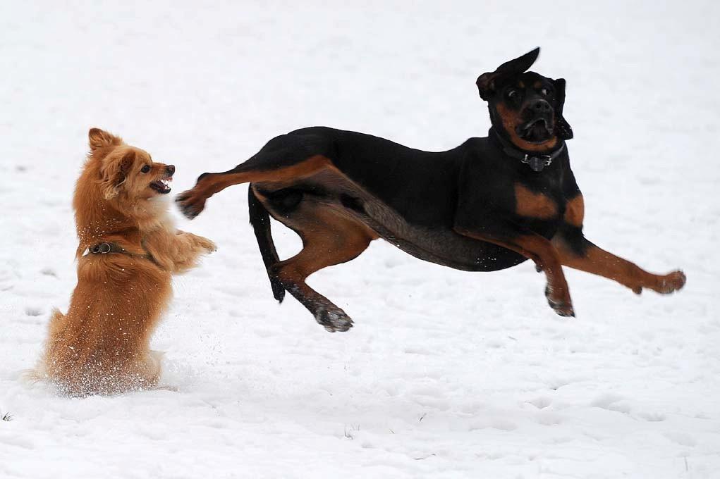 Polish Hunting Dog Dog Breed Standards