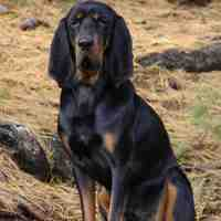 Black and Tan Virginia Foxhound