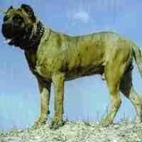 Dogo Cubano Cuban Mastiff