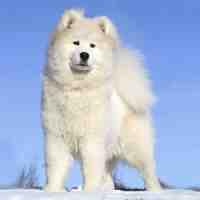 Greenland Dog