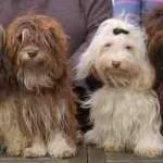 Havanese-dogs
