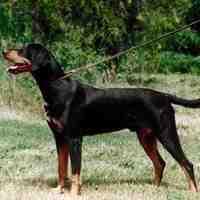 Hungarian Hound