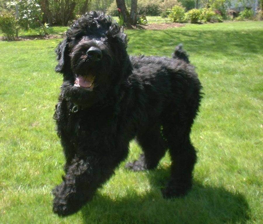 Affen Terrier designer dogs