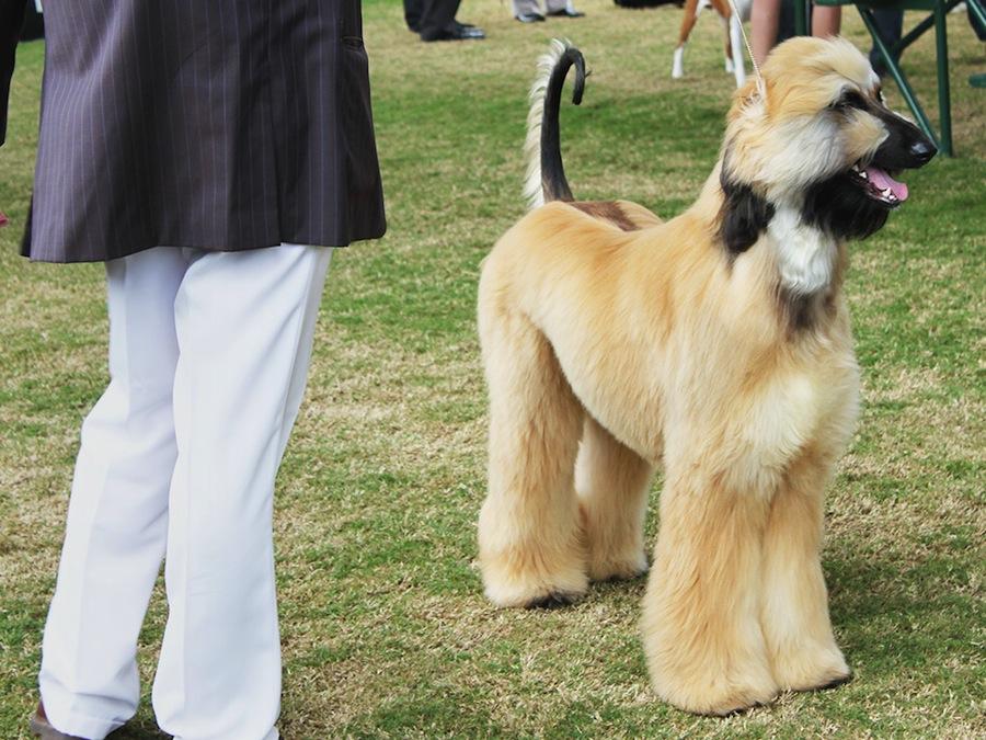 Afghan Collie designer dogs