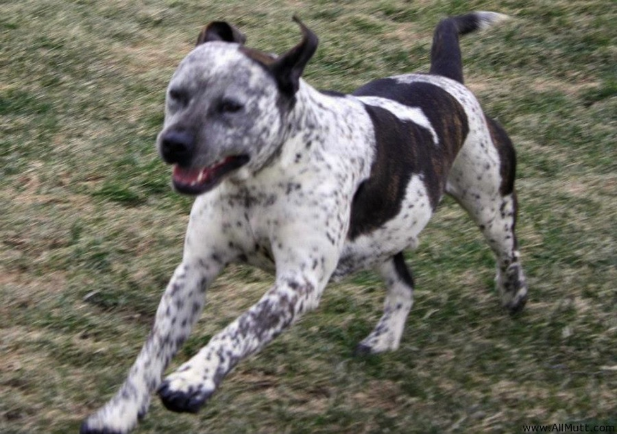 American Bull Aussie designer dogs