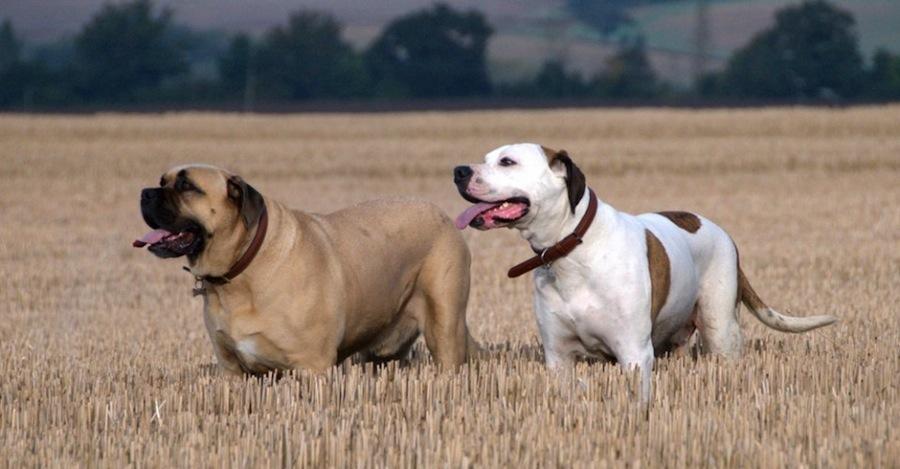 American Bull Dane designer dogs