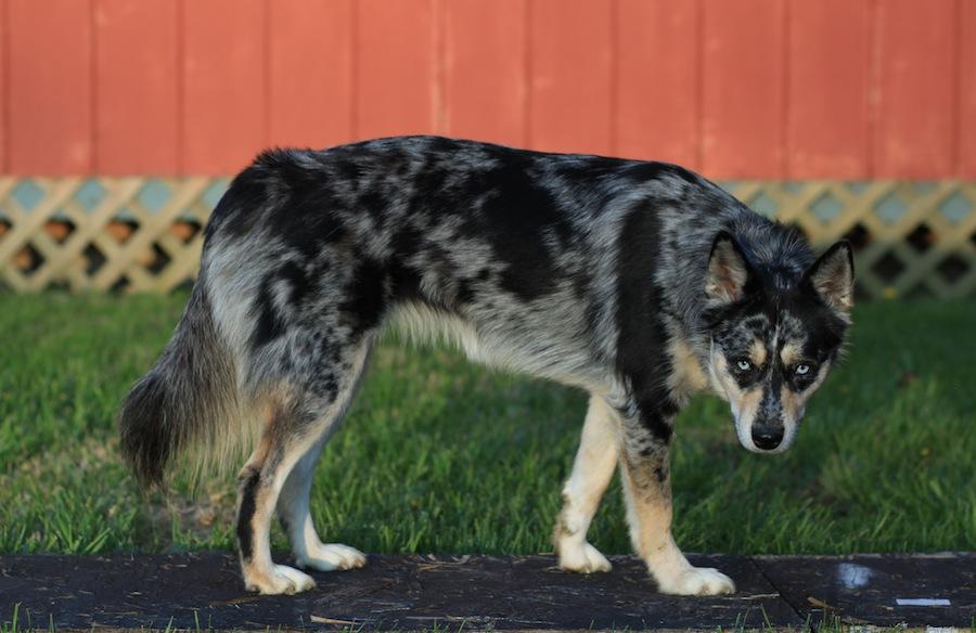 Ausky designer dogs