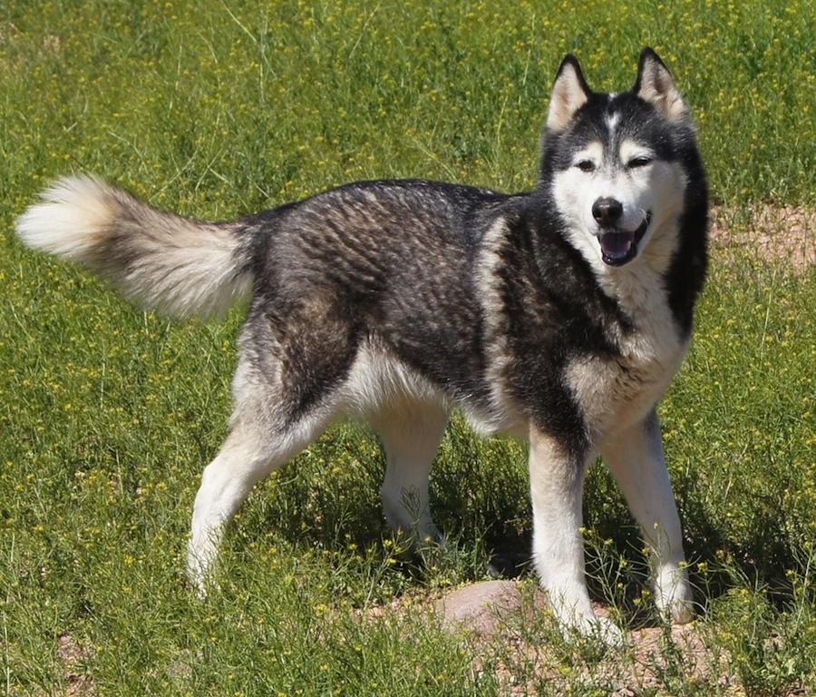 Aussie Siberian designer dogs