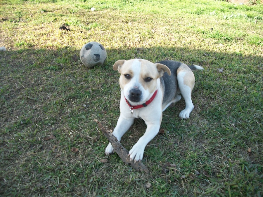 Beagle-american-pit-bull-terrier-mix