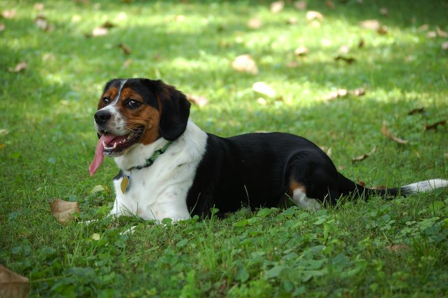 Beaglier designer dogs
