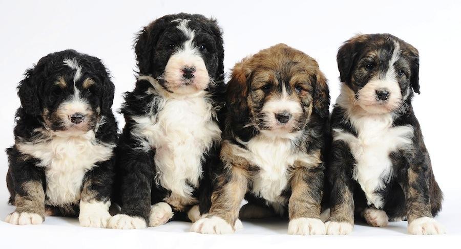 Bernedoodle designer dogs