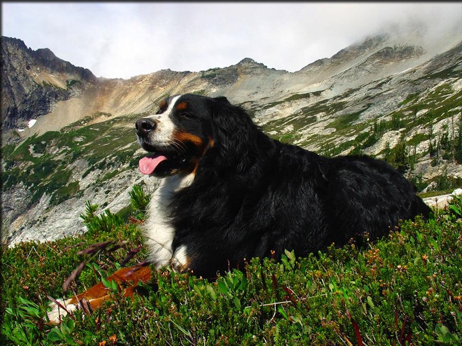 Bernese Rottie designer dogs