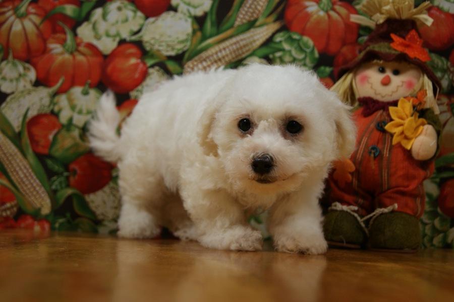 Bich-Poo-designer-dogs