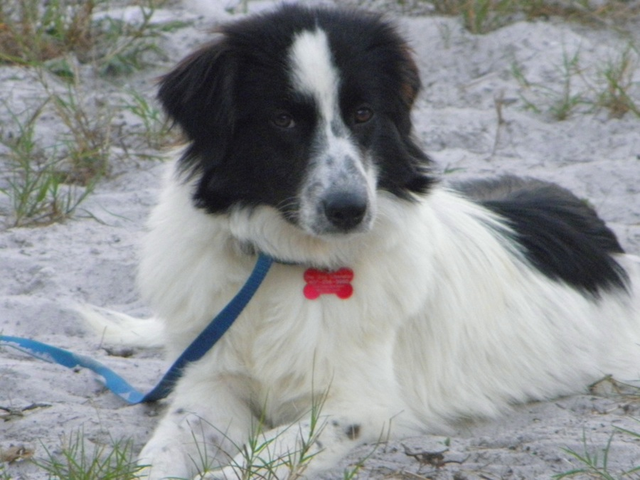 Border Collie Pyrenees Designer Dogs Dog Breed Standards