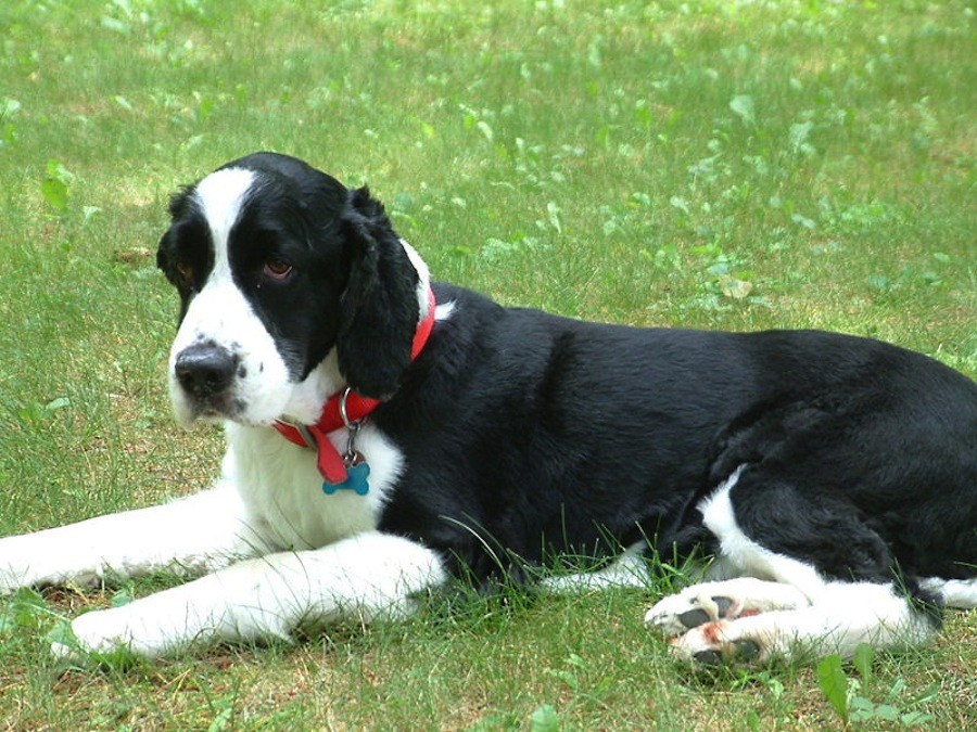 ... Springer designer dog) (Border Collie x English Springer Spaniel mix