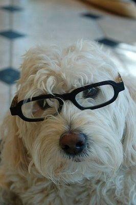 Labradoodle Pictures Labrador Poodle Hybrid Dogs Dog