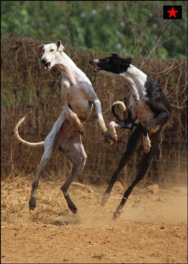 Mudhol hound / Pashmi hound / Caravan hound photos