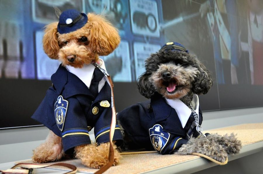 Toy Poodles as Police dogs